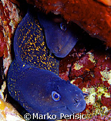 A pair of Moray-eel's(Murene helena) Calvi Corsica. by Marko Perisic 